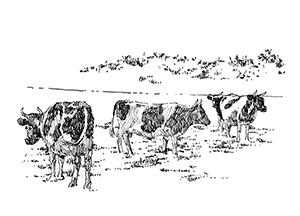 1032 Morbihan – Arz – Vaches Pie noire
